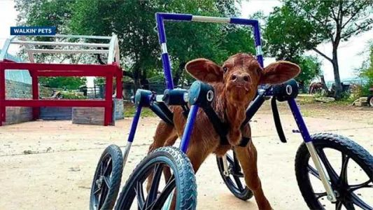 Disabled baby cow takes first steps - thanks to custom wheelchair