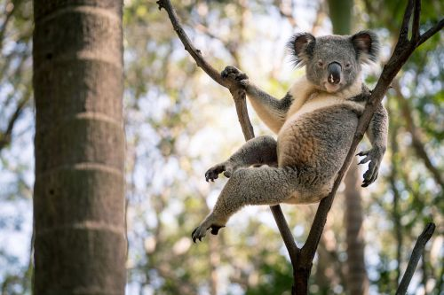 This koala is sexier than you