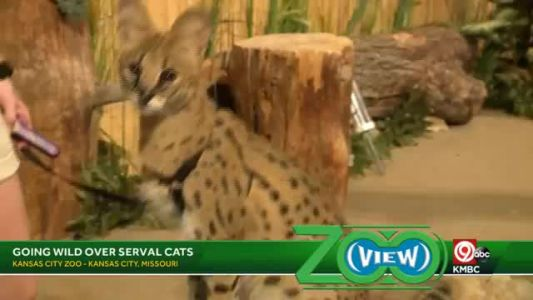 Zoo View: Going wild over Serval cats
