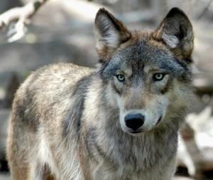 Hunters and trappers exceed Wisconsin wolf kill target
