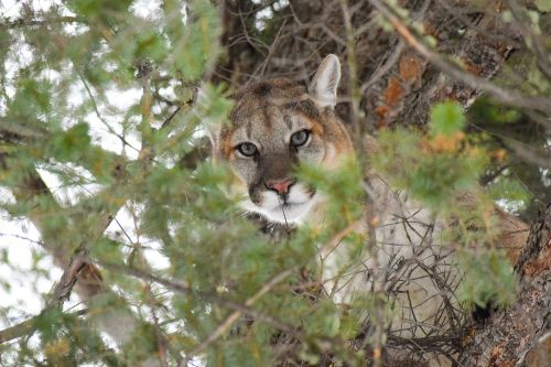 Men who killed mountain lion at Yellowstone given worldwide hunting ban