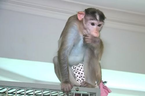 Woman suffering from PTSD fights to keep emotional support monkeys