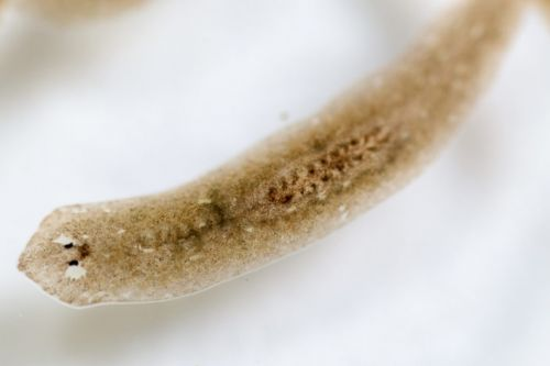 In search of flatworms' regenerative powers