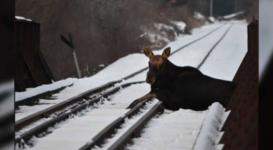 Moose stuck on New England railroad tracks rescued, relocated