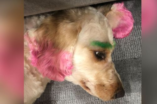 Florida golden doodle's neon makeover causes injuries, infection