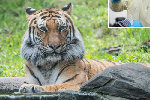 Bronx Zoo says tiger did not get human coronavirus test