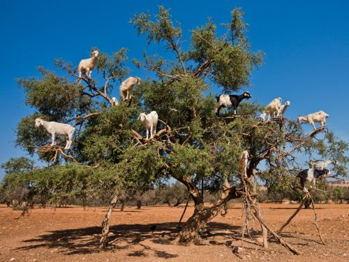 Morocco's famous 'goat trees' are a hit with tourists, but there's evidence that they could be staged