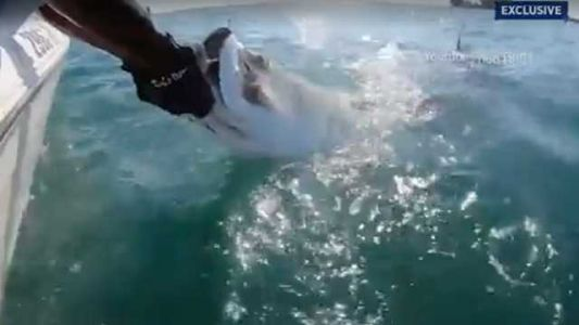 WILD VIDEO: Shark grabs fish out of captain's hands
