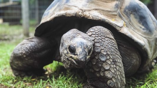 'Zoo View:' Meet Aldabra and African Spurred tortoises, Kansas City's living fossils