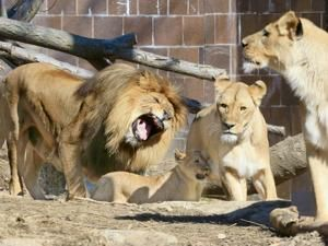 Female African lion Isis dies 2 weeks after mate at Brookfield Zoo in Illinois