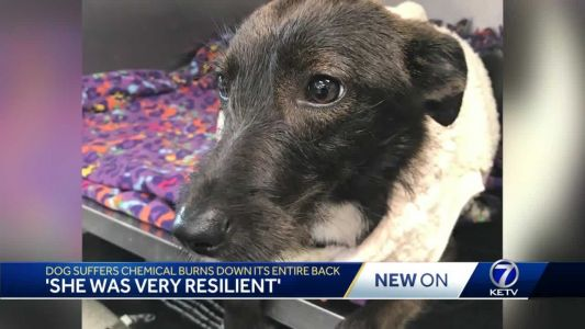 Dog suffers chemical burns down its back