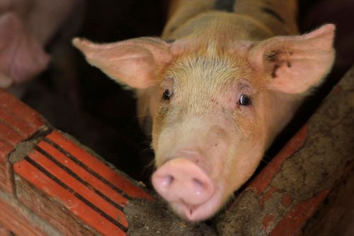 Asian nations scramble to stop spread of contagious swine fever