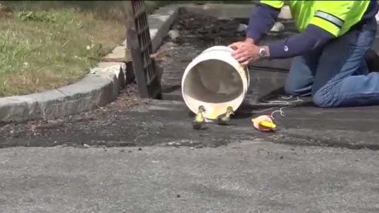 Ducklings rescued after dad, child find them in storm drain