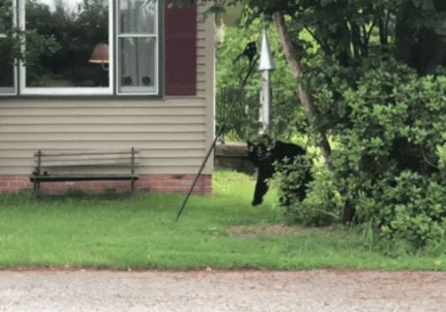 WATCH: Woman chases off black bear attempting to eat from bird feeder