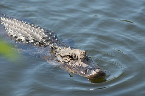 Woman dies saving pooch from alligator