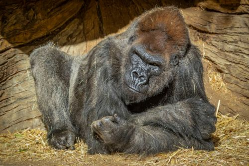 San Diego Zoo gorillas to get COVID-19 vaccine after outbreak