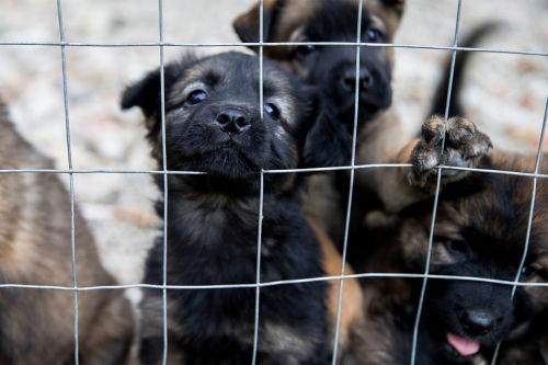 Drug-resistant bacterial outbreak linked to pet store puppies