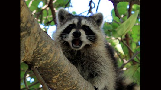 Health advisory: Rabies confirmed in raccoons in Mt. Lebanon and Morningside/Stanton Heights area of Pittsburgh
