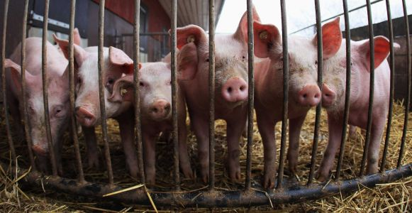 Pig brains partly revived by scientists hours after the animals had died