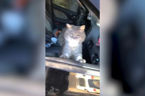 Cat commotion! Group of strays caught darting through woman's car