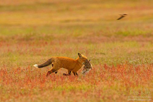 Midair battle between fox and eagle over rabbit caught on video