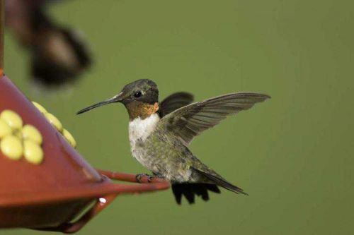 Get your feeders ready: Hummingbirds are coming our way