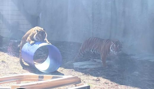 Two tigers join Lincoln's zoo