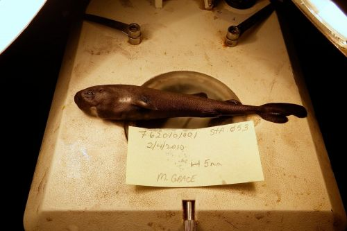 Tiny shark discovered in Gulf of Mexico turns out to be new species