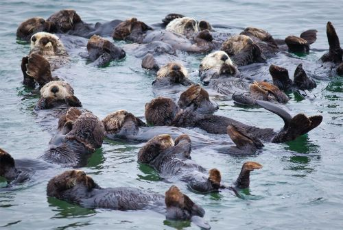 Cat parasite linked to death of sea otters: UC Davis study