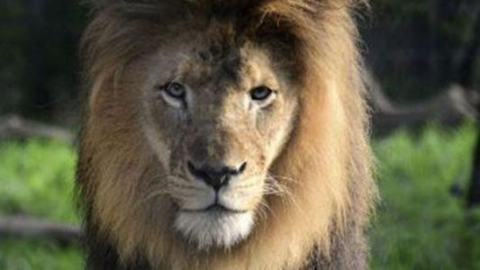 Female lion kills father of her cubs at Indiana zoo