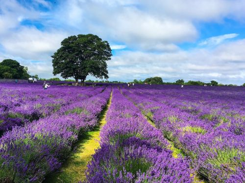 People are flocking to a scenic lavender farm in England for the perfect Instagram photo