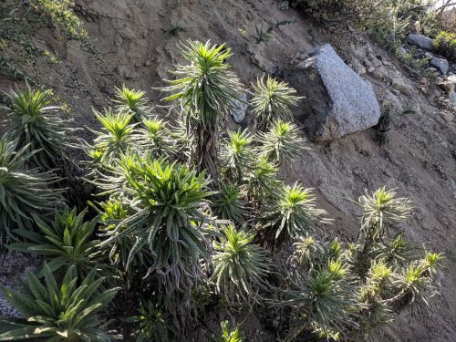 Sierra visitors cautioned about irritating 'poodle-dog bush'