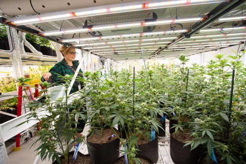 The Great American cannabis experiment
