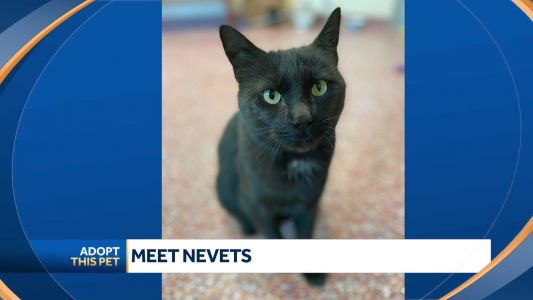 Nevets is a handsome 6-year-old domestic shorthair looking for a new home