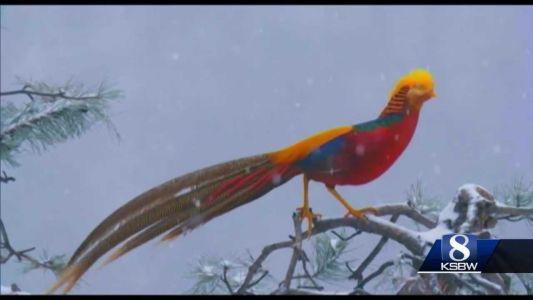 Animal Stories with Dan Green: the golden pheasant