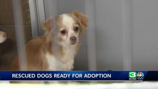19 Chihuahuas rescued from apartment up for adoption in Oakdale