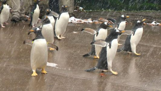 WATCH: Penguins go on parade, strut their stuff in the snow at Pittsburgh Zoo