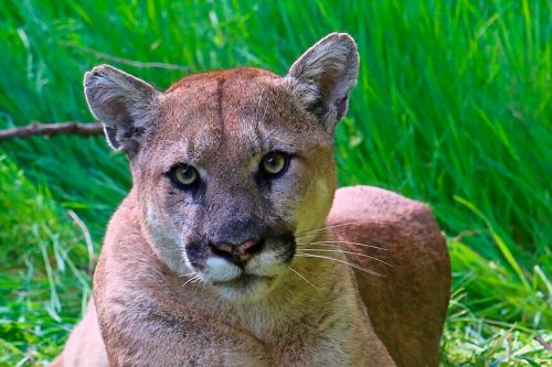 Man charged with fatally shooting mountain lion in the head