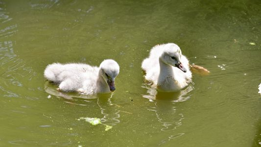 The Maryland Zoo welcomes trumpeter swan hatchlings