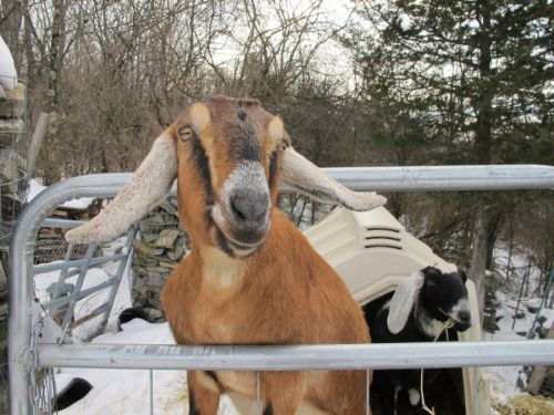 Dog and goat serving as mayor raise money to renovate Vermont playground