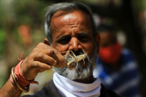 Here come the locusts-India prepares to do battle with crop-munching pests