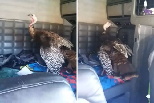 Trucker boots turkey from his vehicle and it doesn't end well