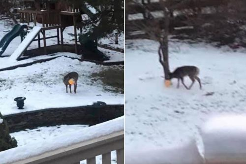 Deer with plastic pumpkin on head rescued in New Jersey