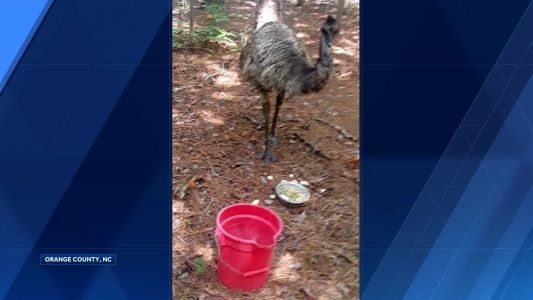Eno the emu no longer on the run in North Carolina