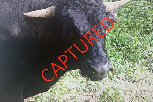 'Buddy' the beefalo captured after eights months on the lam