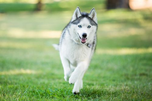 13 wolf-like dog breeds that make great family pets