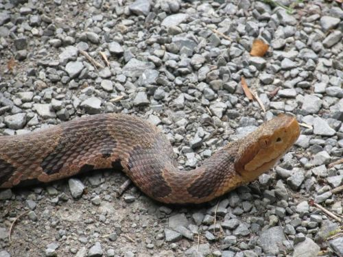 Pa. woman bitten by venomous snake while doing laundry at home