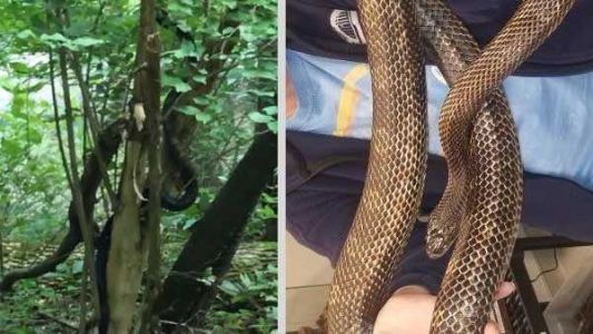 No, a boa constrictor wasn't found at Ault Park. It's just a really, really big rat snake