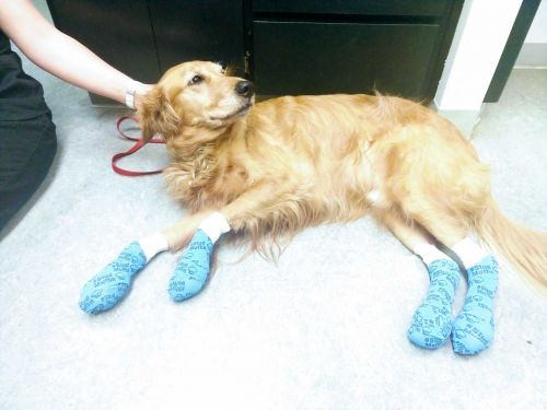 'Hot weather means hot pavement!': Experts warn owners after dog's pads burn off during walk