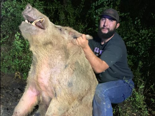 How 3 guys and 3 dogs caught this 411-pound feral hog that infiltrated a San Antonio golf course